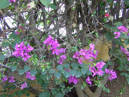 Bouganvilla Strauch aus Brasilien