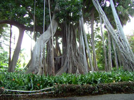 Würgefeige im Jardín Botánico