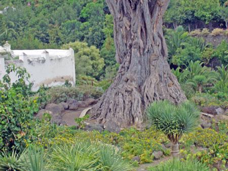 Der Drachenbaum in Icod de los Vinos