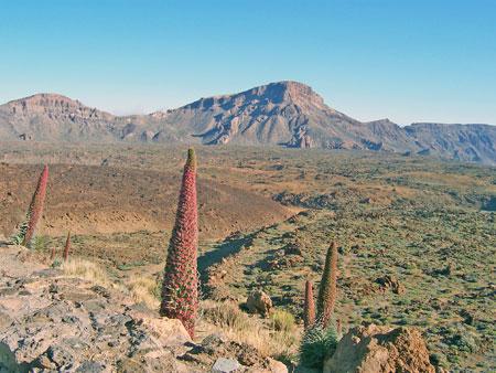 Tajinaste in der Caldera des Vulkans