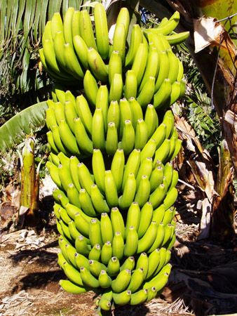 Bananen Ernte