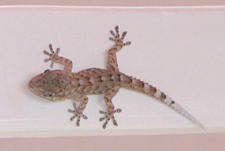 Gecko auf Teneriffa