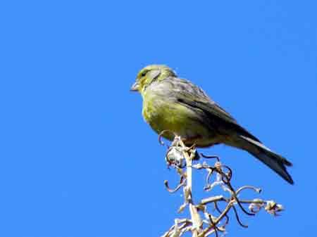Kanarienvogel Teneriffa