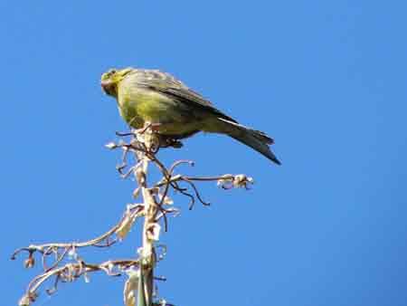 Kanarienvogel auf Teneriffa