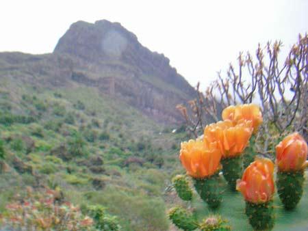 Blühender Kaktus in der Masca Schlucht