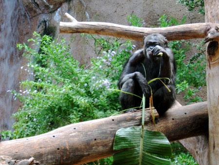 Gorilla mit Palmblatt