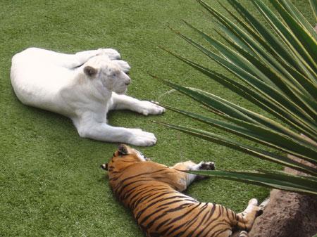 weisser Tiger und Tiger