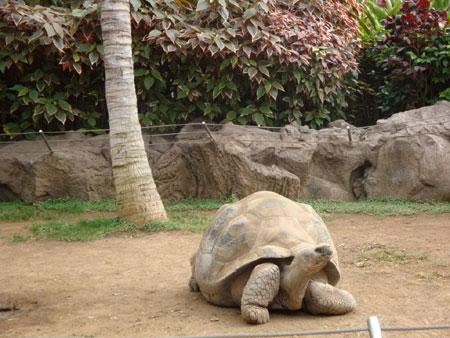 Riesenschildkröte von den Galapagos Inseln