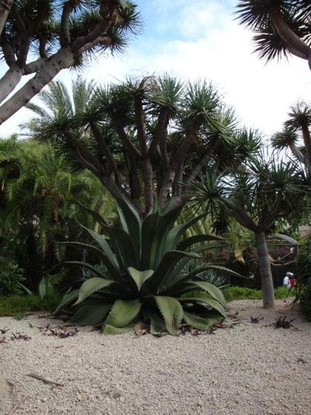 Kakteen, Palmen und Agaven im Loro Park