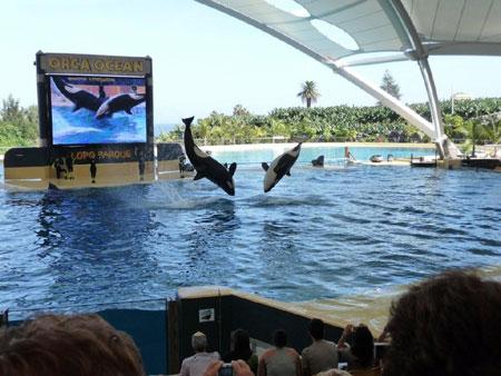 Kunststücke der Orcas im Loro Park