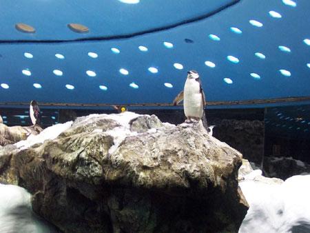 Ein Humboldt Pinguin im Planet Pinguin