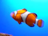Nemo Fisch im Loroparque