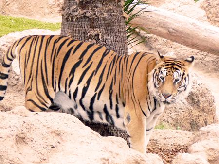 Tiger im Loro Parque