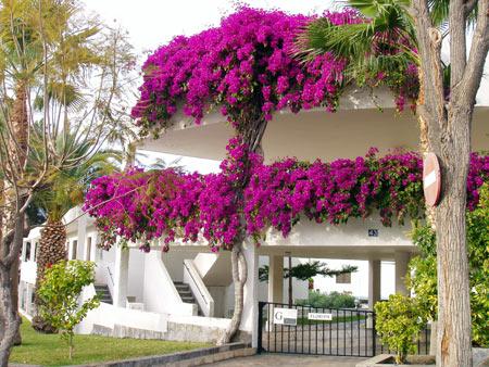 Blumen-Baum in Los Gigantes