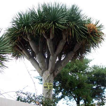 Drachenbaum mit Blüten