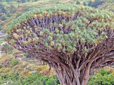 Drachenbaum Teneriffa