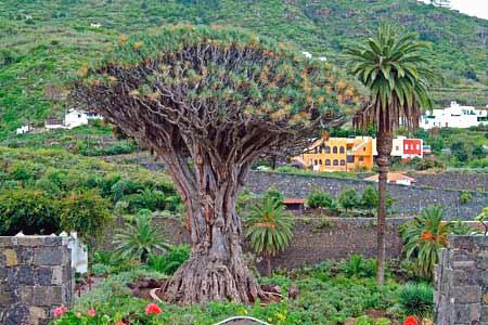 Drachenbaum Icod de los Vinos