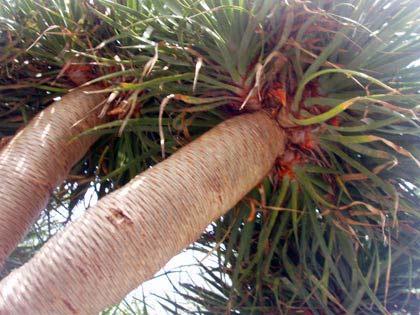 Junger Drachenbaum, Teneriffa