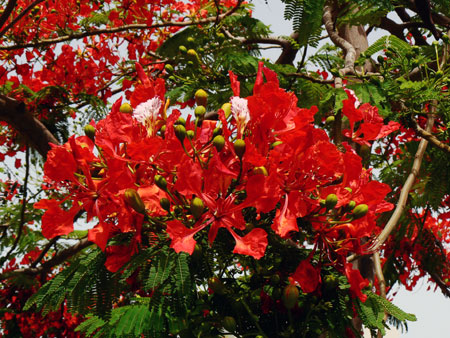 Blume Teneriffa