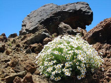 Blumen am Teide