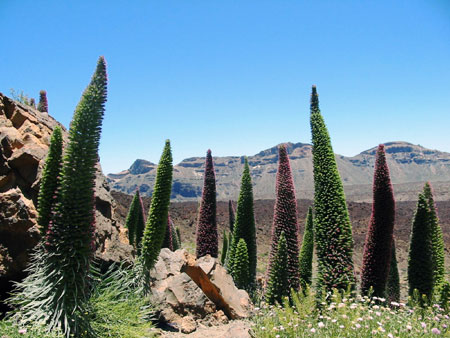 Tajinaste Pflanzen am Teide