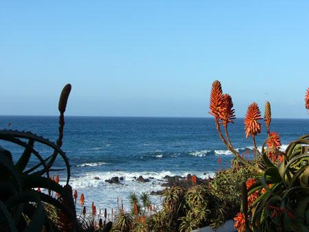 Blüten am Meer, Teneriffa