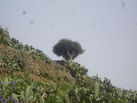 Drachenbaum neben einem Höhlenhaus