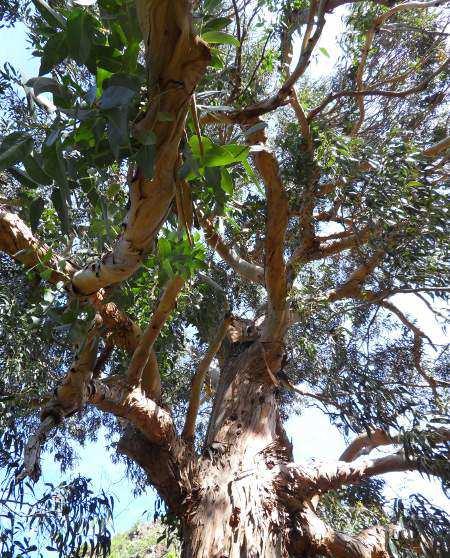 der Eukalyptusriese