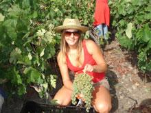 Ernte weisse Weintrauben