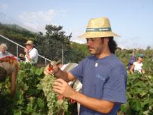 Ernten der weissen Weintrauben