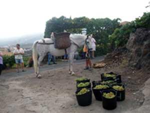 Pferd mit Weintrauben beladen