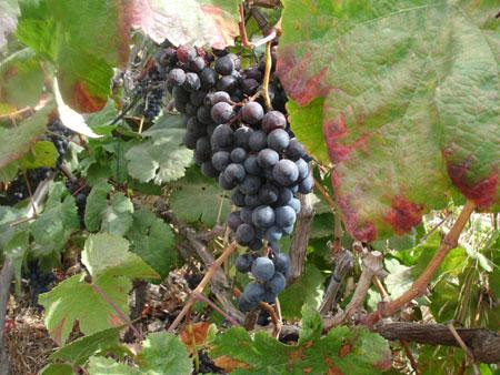 Weinrebe - roter Wein