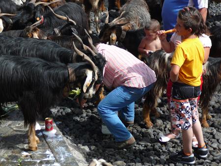 Mann mit Ziegen in Puerto de la Cruz