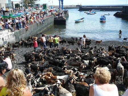 Ziegen am Hafen von Puerto de la Cruz