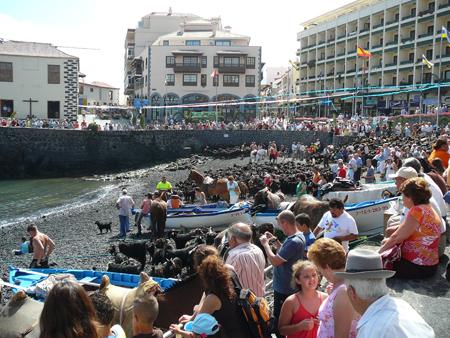 Ziegen im Hafen von Puerto de la Cruz