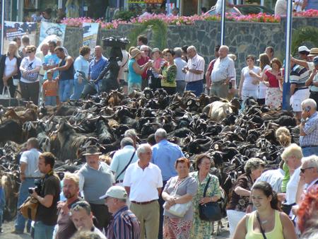 Ziegen auf einen Haufen im Hafen von Puerto de la Cruz