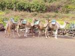 Kamele reiten Teneriffa