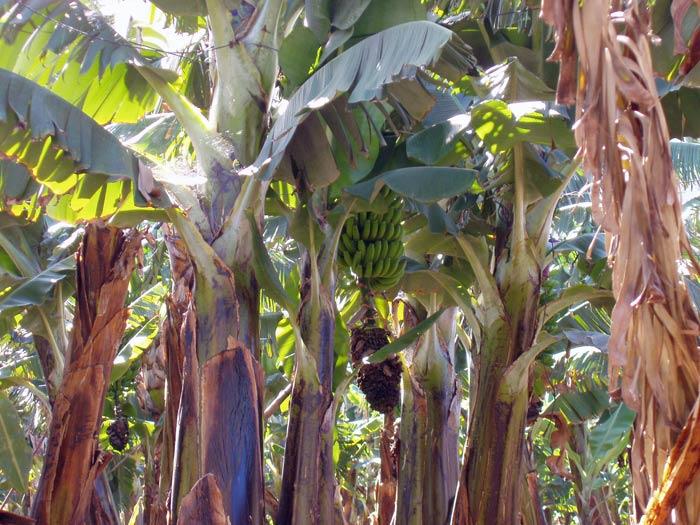 Bananen-Plantage in Los Realejos Teneriffa
