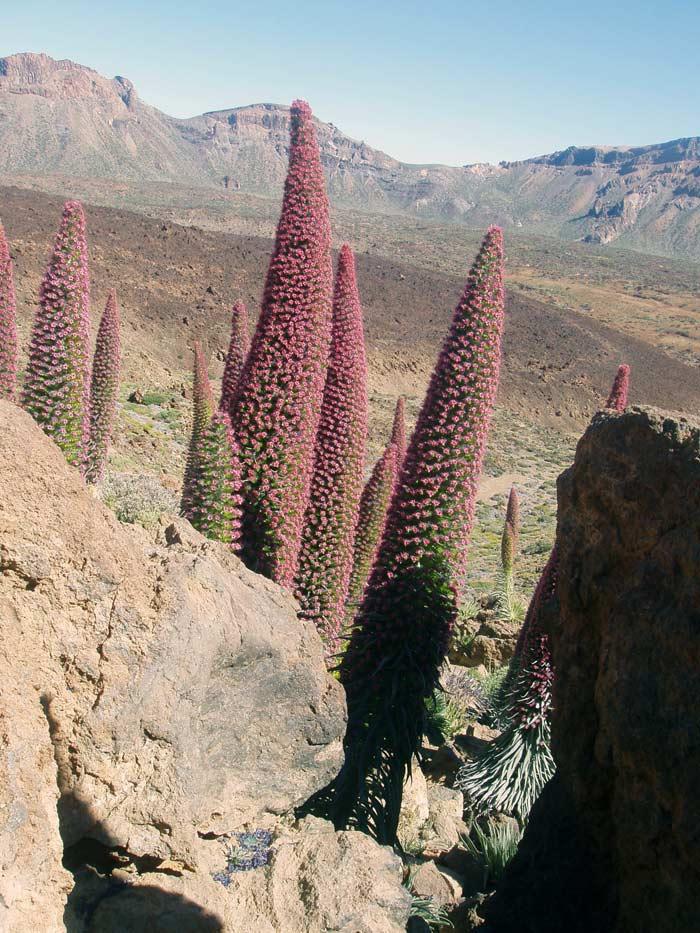Tajinaste,  Parque Nacional del Teide - Teneriffa