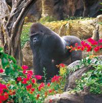 Gorilla im Loro Parqe
