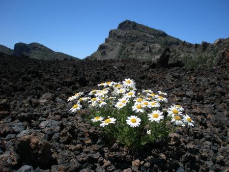 Argyranthemum Teneriffa in Las Cañadas