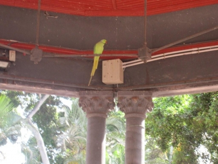 Freilebender Papagei