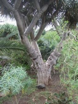 knorriger Stamm Drachenbaum